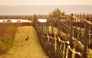 Ein Hase sitzend in einer Wiese neben einem Weingarten in Illmitz