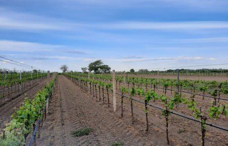 Nekowitsch Weingarten im Mai