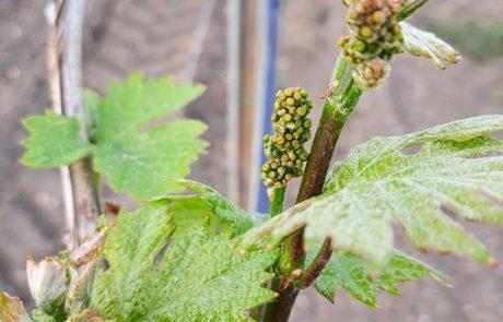 Austrieb im Weingarten Nekowitsch
